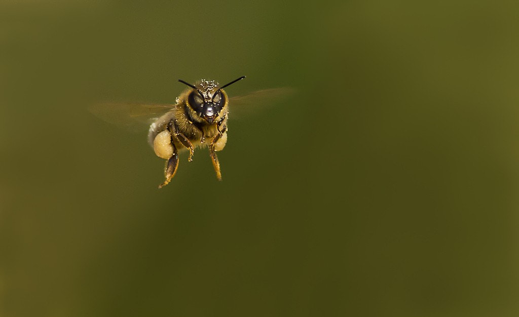 Photograph the flight of the bee by dedales on 500px