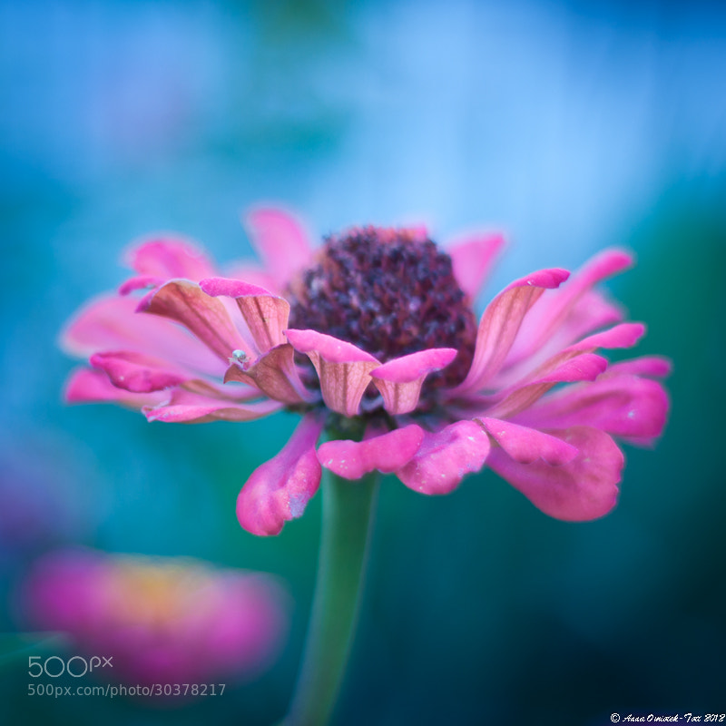 Photograph Zinnia by Anna Omiotek-Tott on 500px