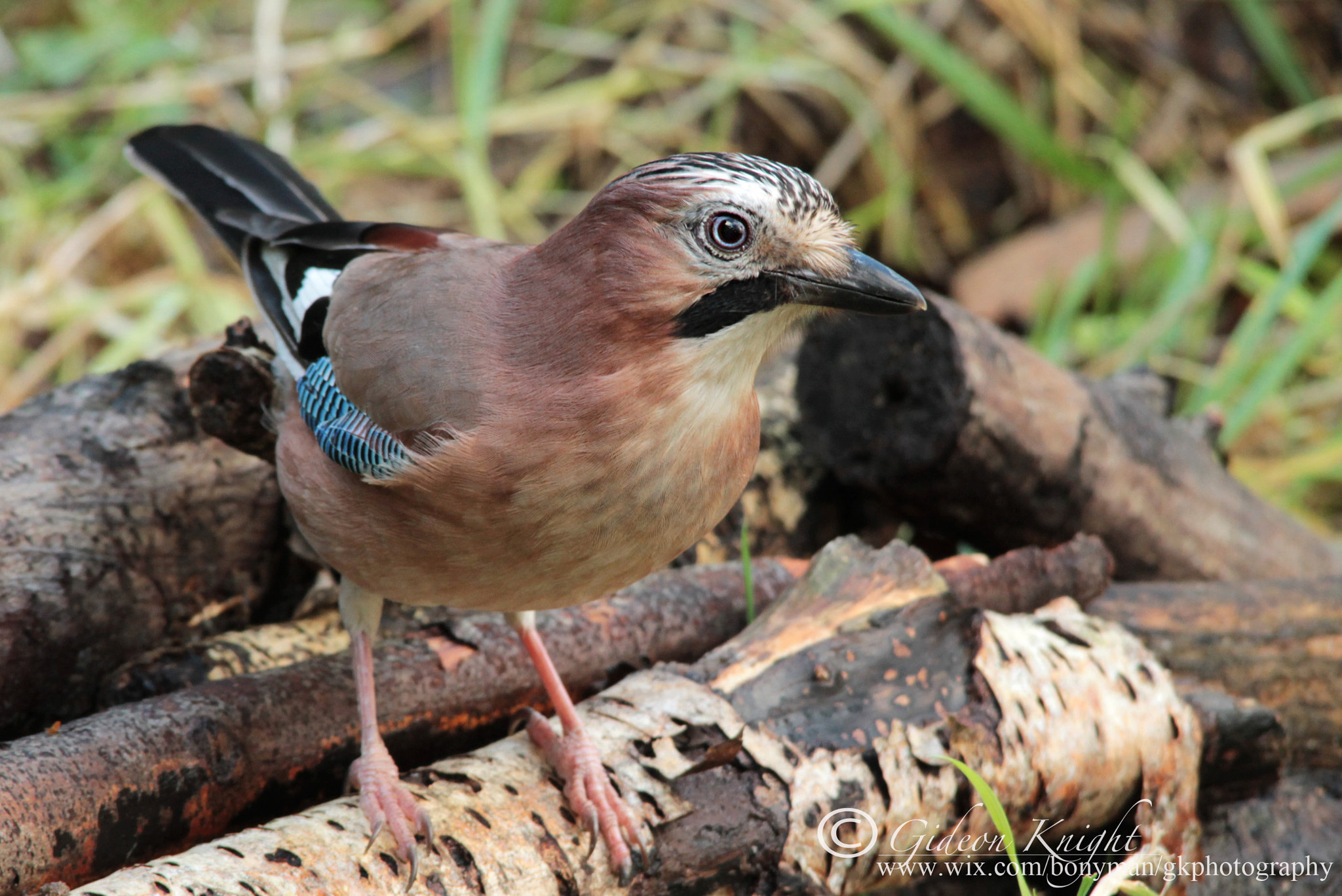Photograph Jay by Gideon Knight on 500px