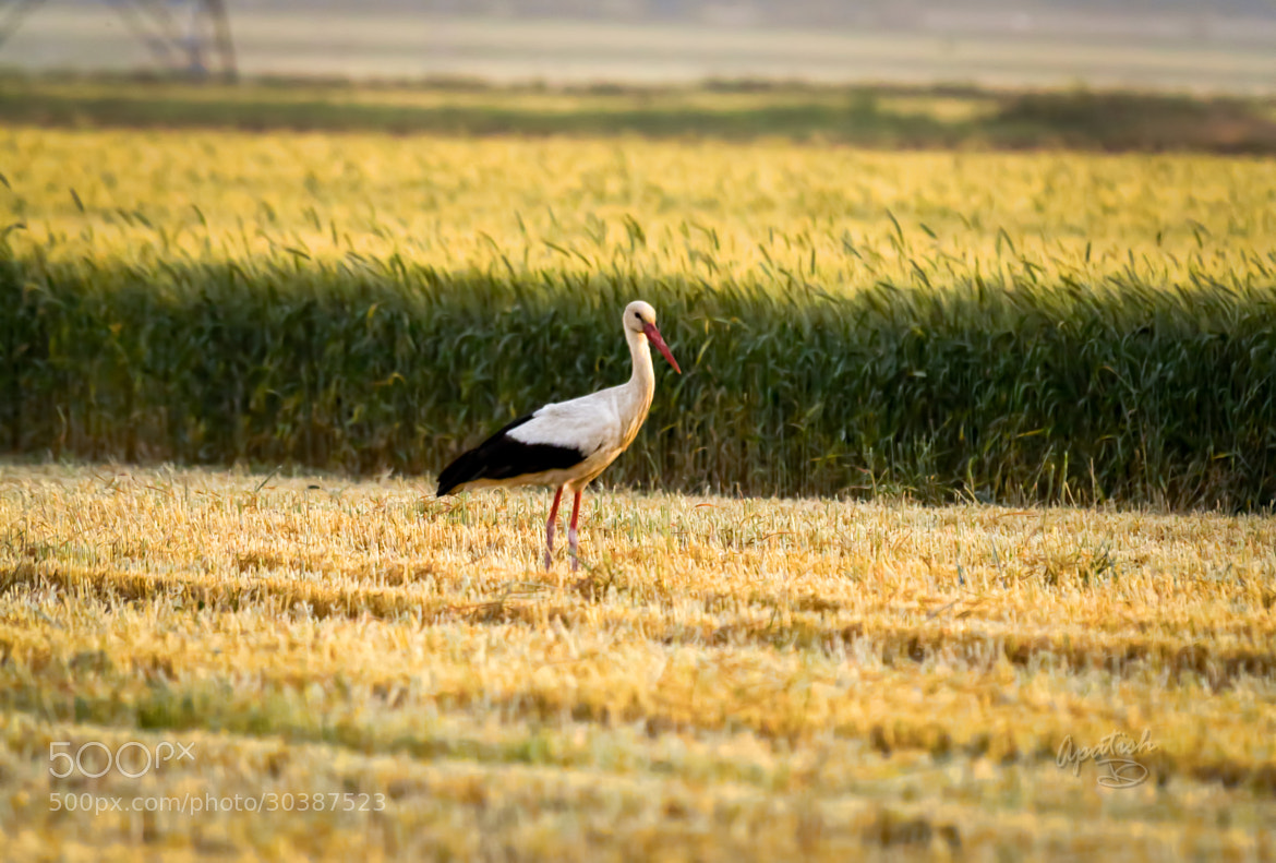 Photograph White Stork by Ariel Patish on 500px