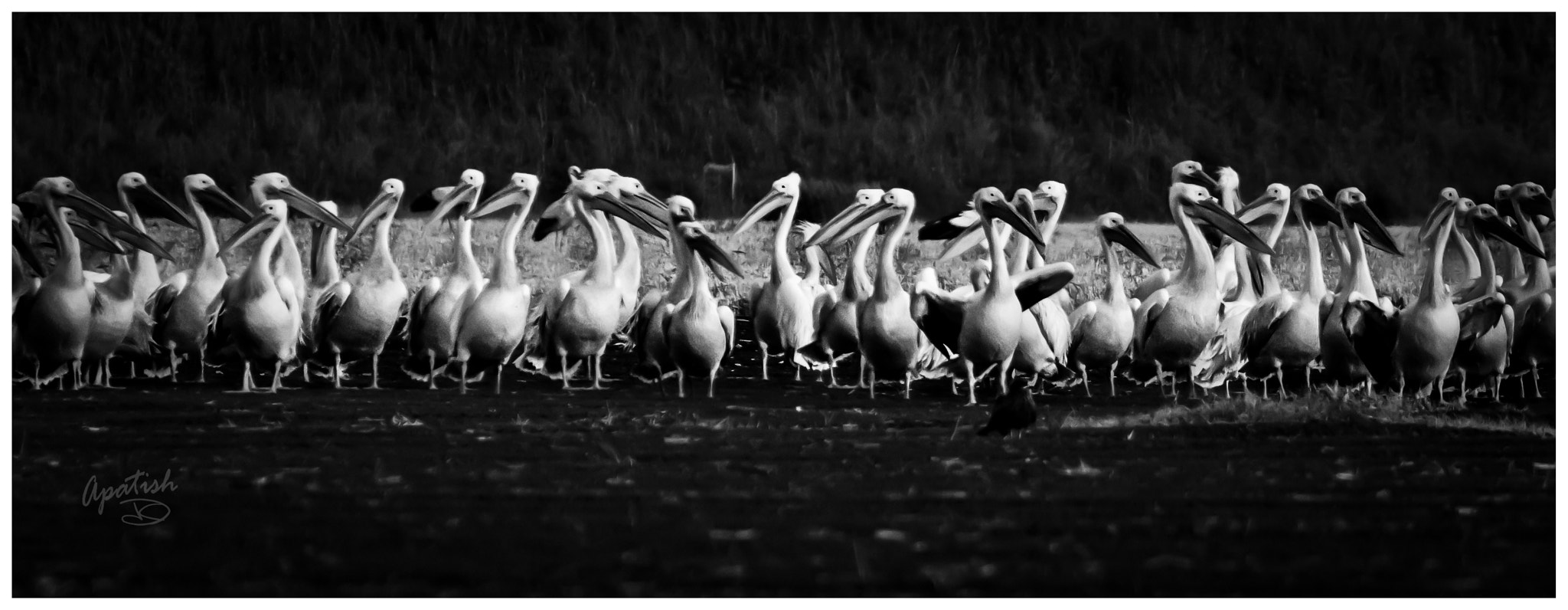 Photograph Pelicans, class of 2013 by Ariel Patish on 500px