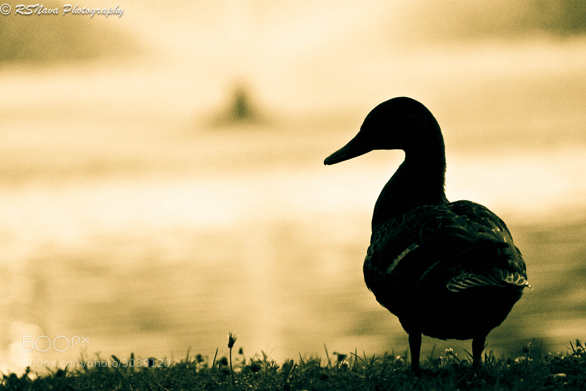 Photograph Duck Silhouette  by Ricardo S. Nava on 500px