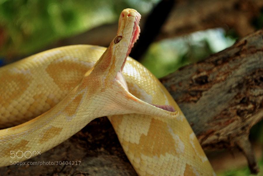 piton albina photos / 500px
