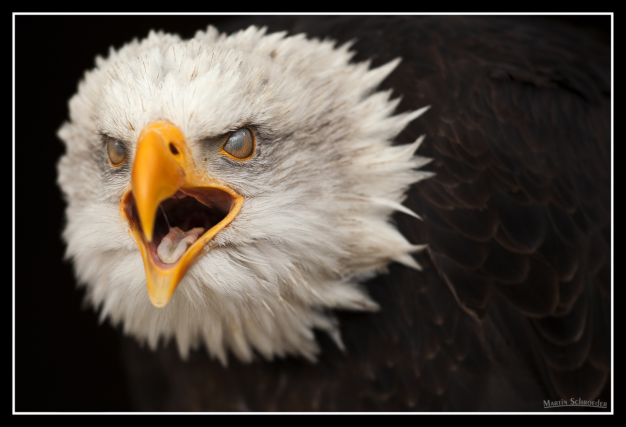 Photograph Bald eagle with veinous nictitating membrane by Martin Schroeder on 500px
