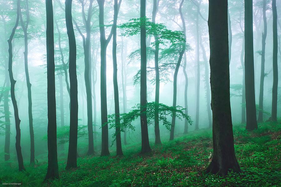 Spring Beech Wood by Kilian Schönberger - a No.1from shop.vanechow.com