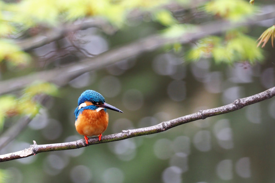 kingfisher by shoji uno on 500px.com