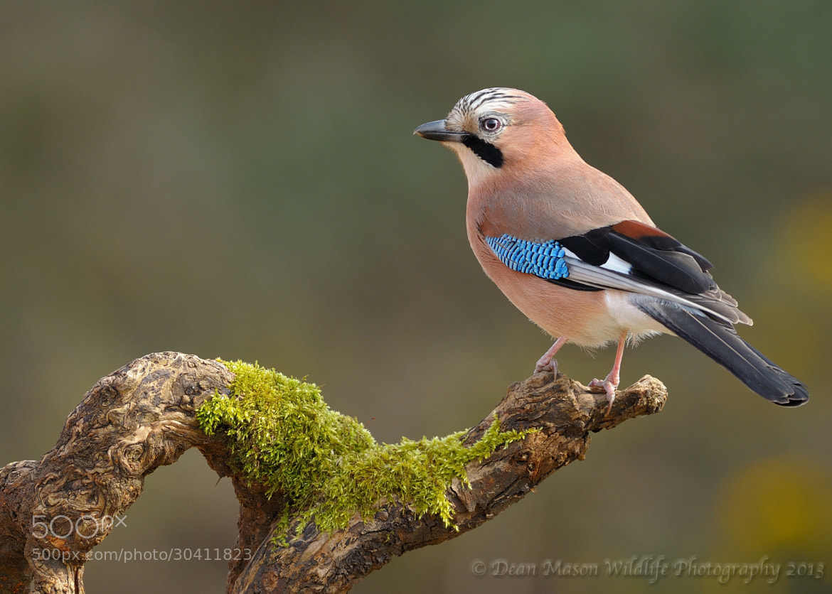 Photograph Eurasia Jay (Garrulus glandarius) by Dean Mason on 500px
