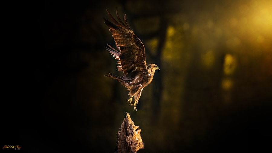Black Kite Rises ! by Sunil - a No.1from shop.vanechow.com