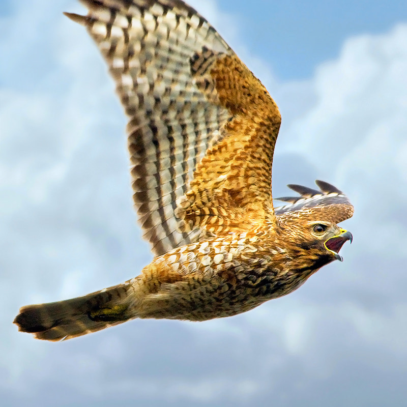 Photograph Red-shouldered hawk by Dieter Schaefer on 500px
