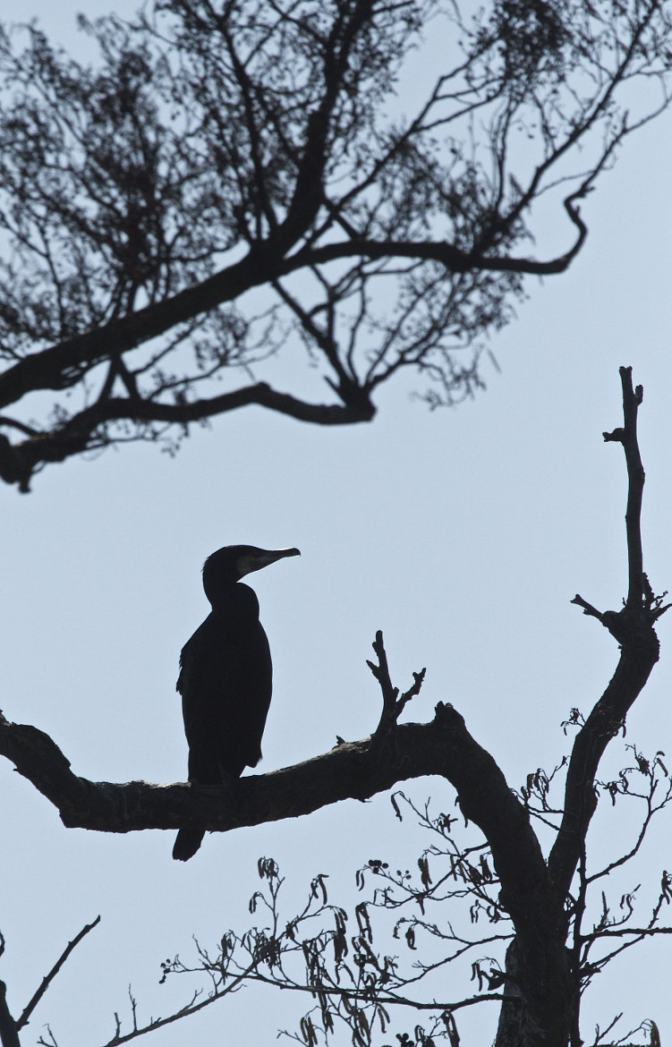 Photograph Cormorant Silhouette by Lee Crawley  on 500px