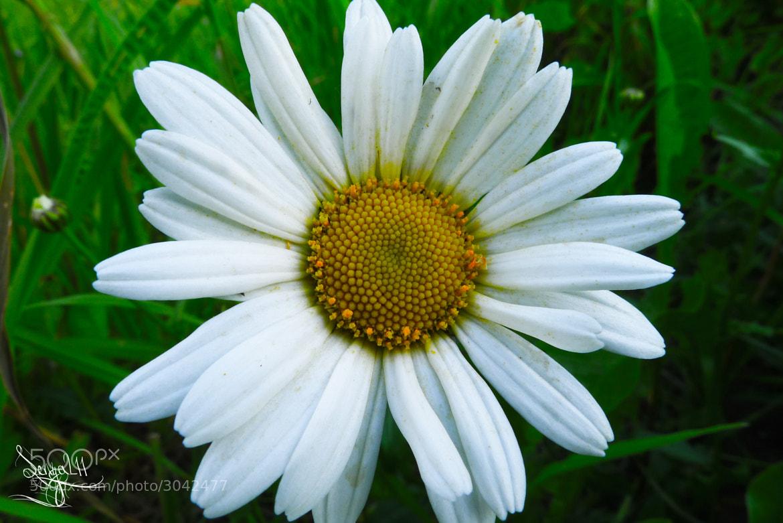 Photograph chamomile by Sergey Tikhomirov on 500px