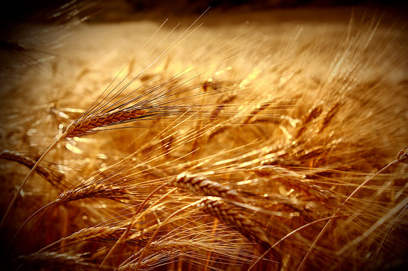 Photograph field of wheat by Giuseppe Di Fede on 500px