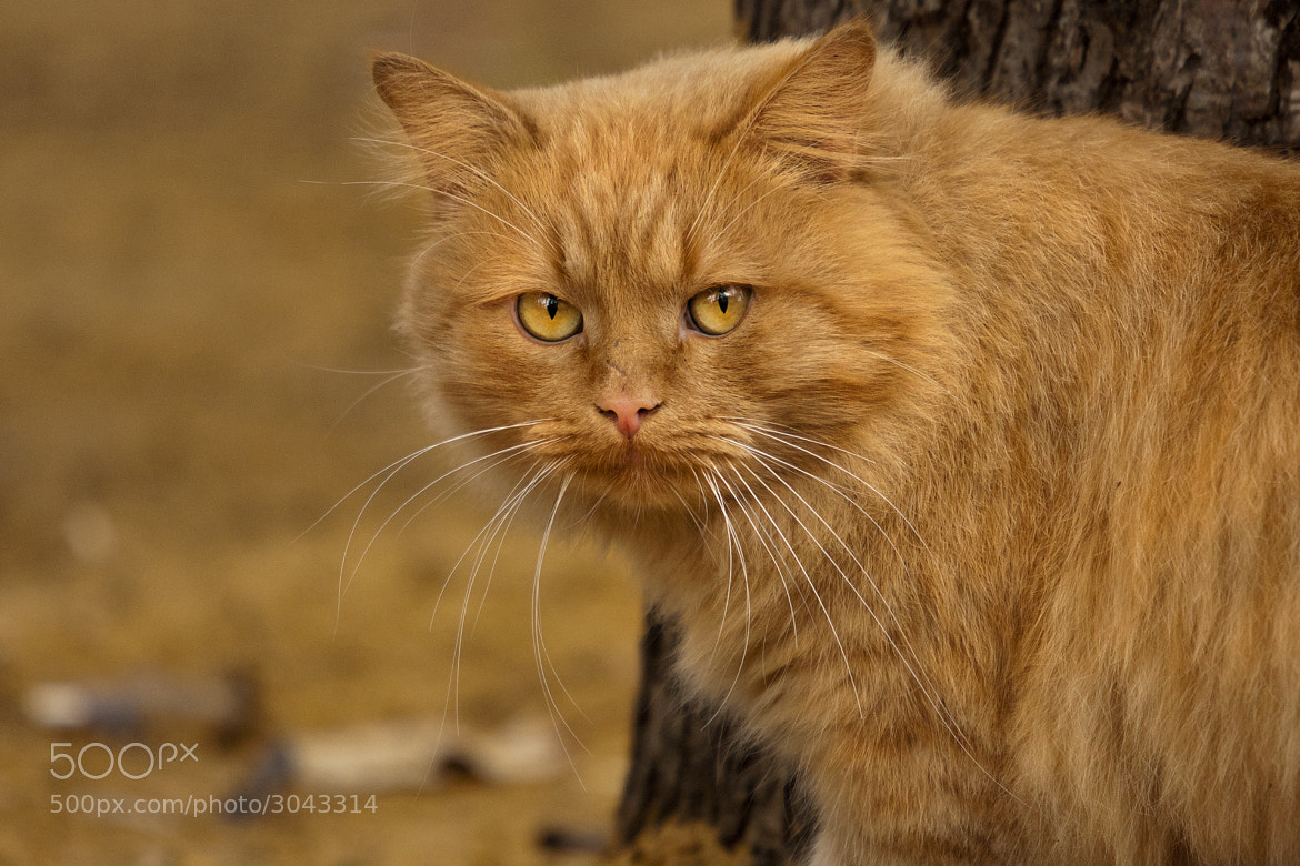 Photograph ginger by Borovlev Igor on 500px