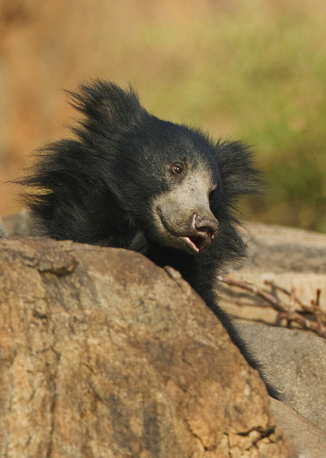 A young Sloth bar peeks over the rocks in his home, Daroji Wild Bear Sanctuary India