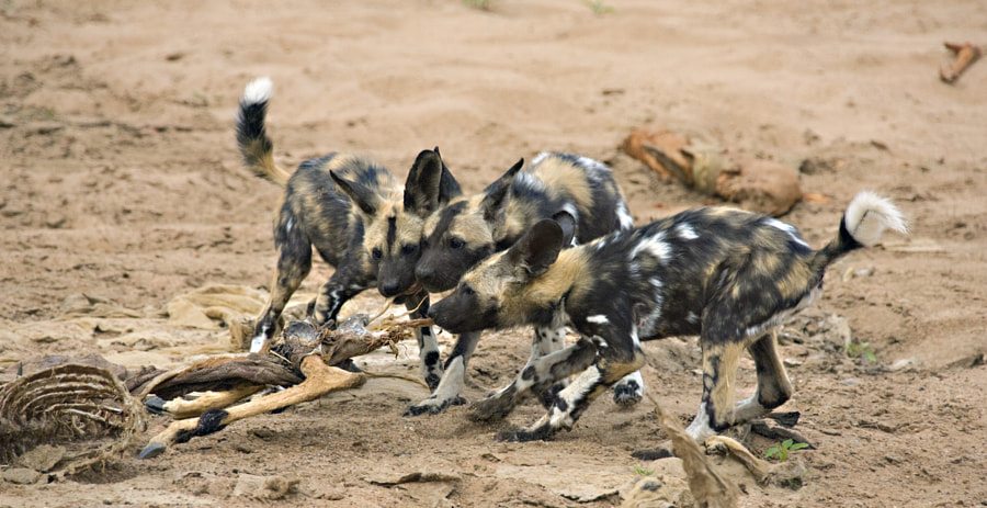 Wild dog pups play with an Impalla skeleton in the dried up riverbed of the Limpopo River