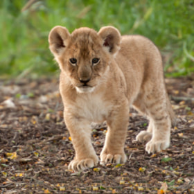 Lion Cub by Henrik Vind (henrik_vind)) on 500px.com