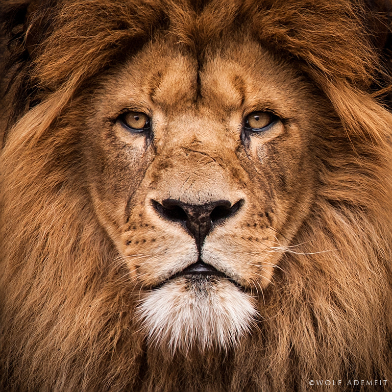 Photograph OLD LION PORTRAIT by Wolf Ademeit on 500px