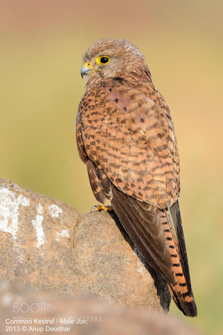 Photograph Common Kestrel - Male Juv. by Anup Deodhar on 500px