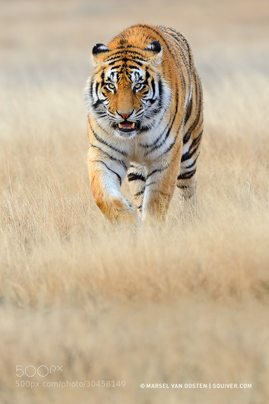 Photograph Closing In by Marsel van Oosten on 500px