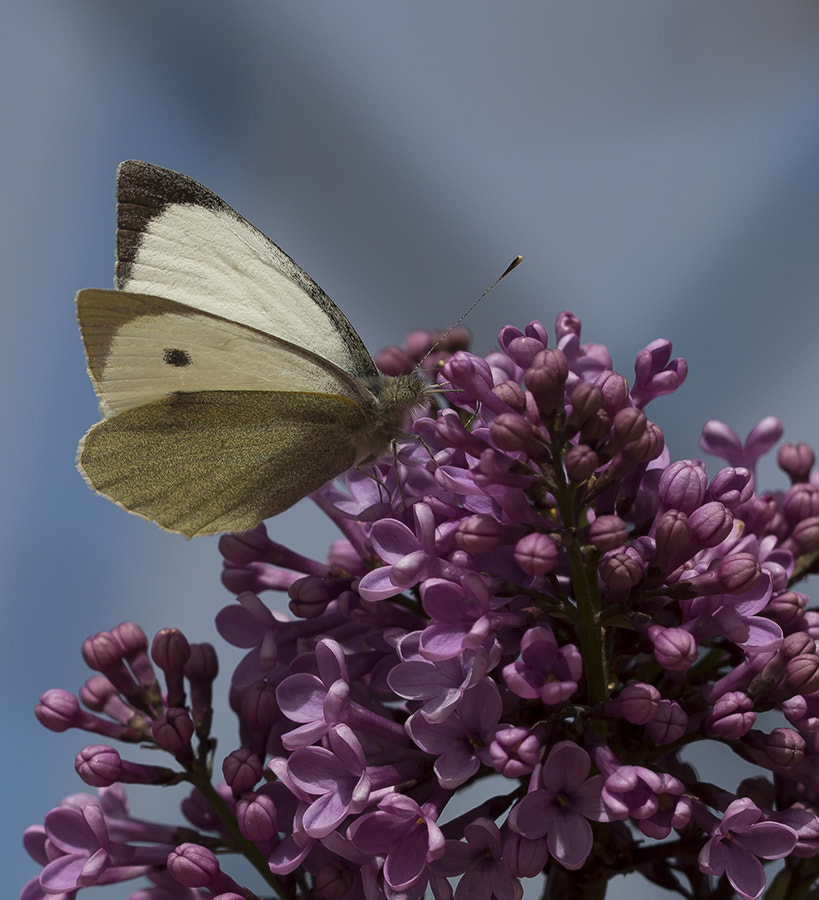 Photograph Large White by Mehmet Gören on 500px