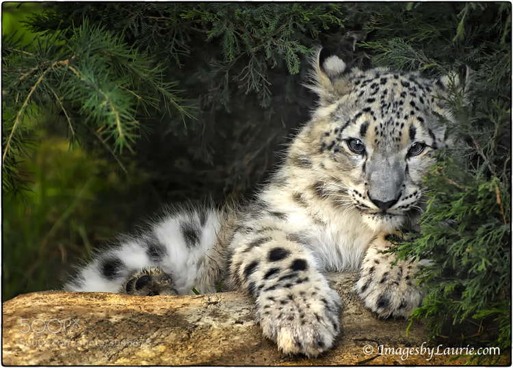 Snow Leopard Cub - After running around after it's sister, took a time out to rest under a tree.
