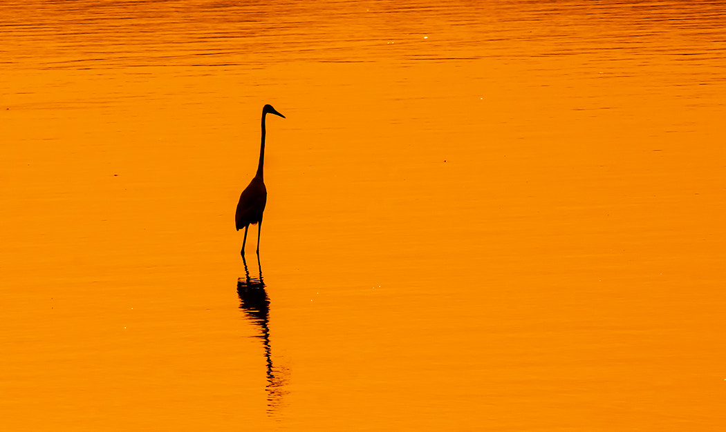 Photograph Silhouette of Greater Egret by Jayaram Jahgirdar on 500px