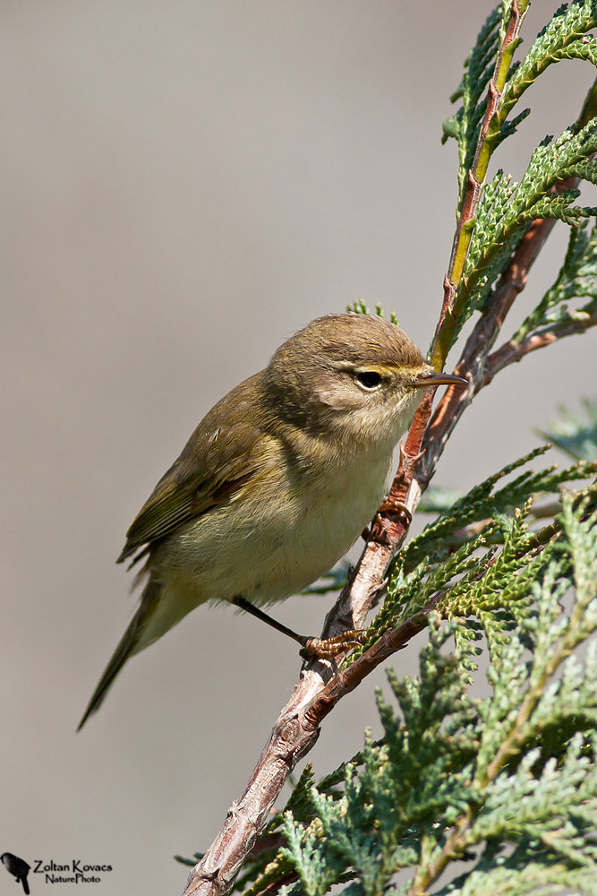 Photograph Willow Warbler (Phylloscopus trochilus) by Zoltan Kovacs on 500px