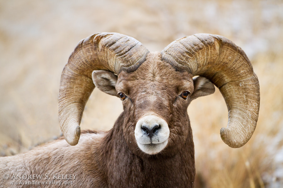 Photograph Bighorn Sheep Portrait by Andrew Kelley on 500px