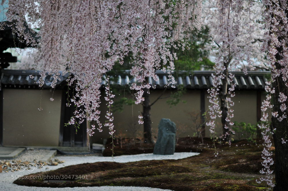 Photograph A drooping cherry tree(Kyoto) by Hiro _R on 500px