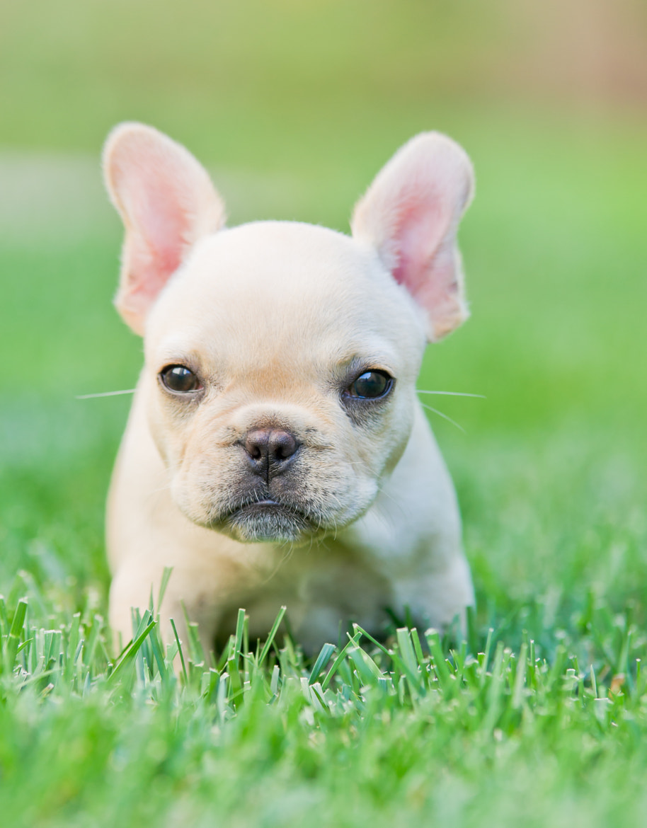 Photograph A French Bulldog Puppy by Ticknor Photo on 500px