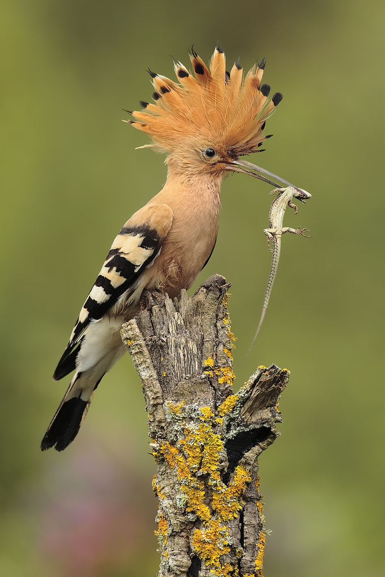 Photograph hoopoe with prey by Andrés Miguel Domínguez on 500px