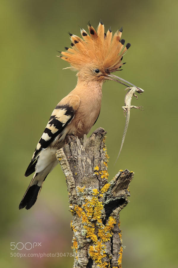 hoopoe with prey by Andrés Miguel Domínguez (dendro) on 500px.com