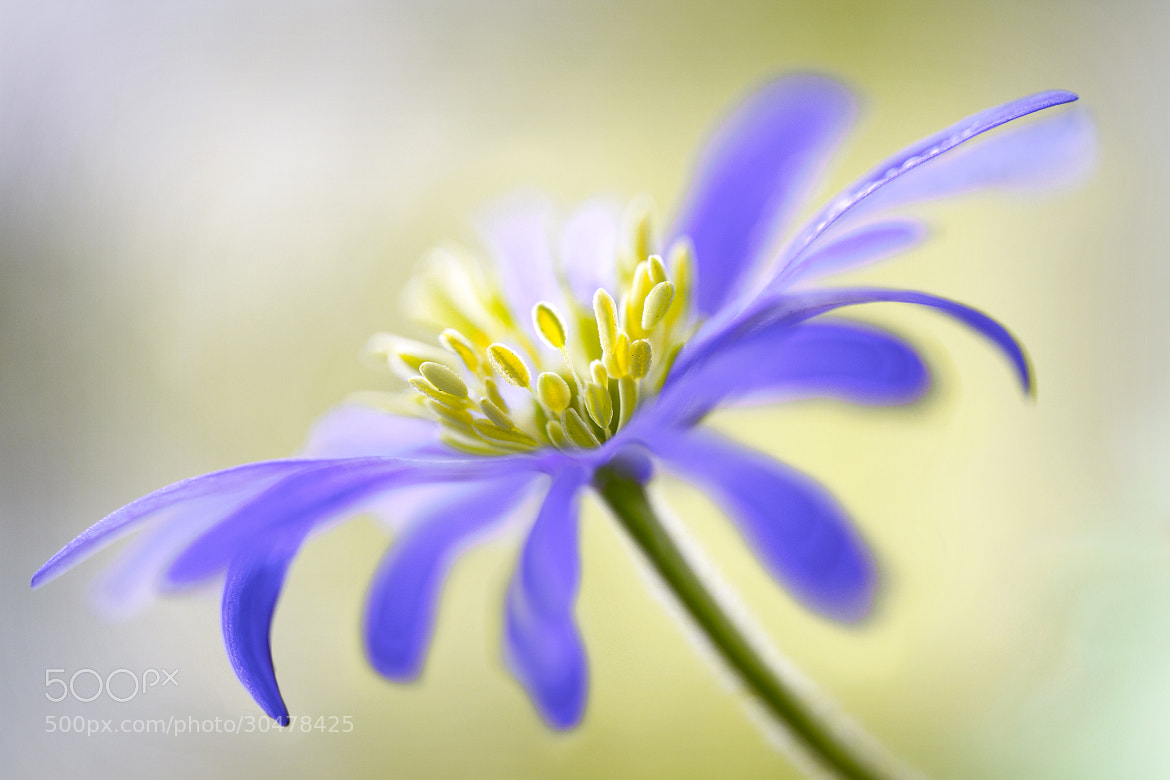 Photograph Windflower by Mandy Disher on 500px