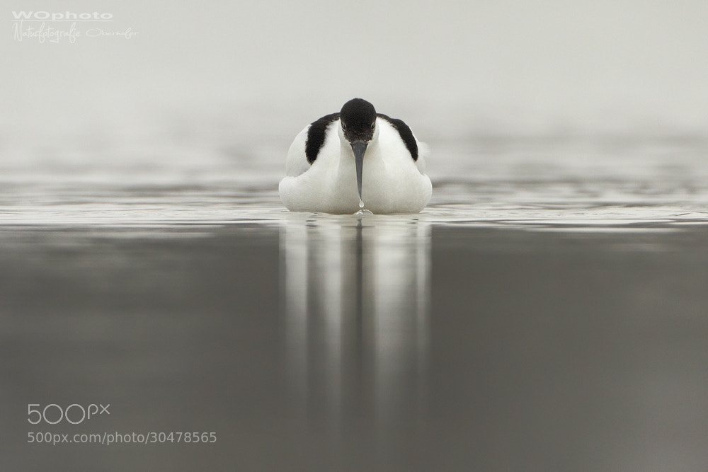 Photograph black capped avocet by Walter Oberhofer on 500px