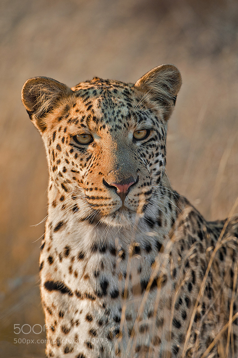 Photograph Kalahari leopard by Marc MOL on 500px