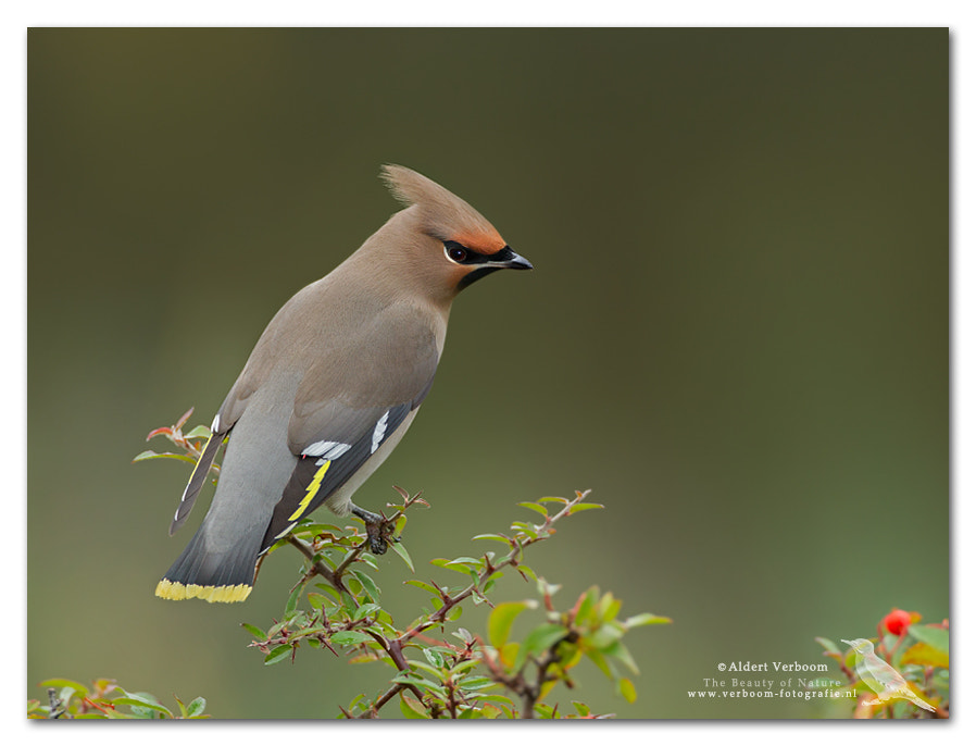 Photograph Bohemian Waxwing by Aldert Verboom on 500px