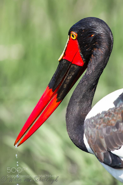 Photograph Saddle-billed Stork by Willie van Schalkwyk on 500px