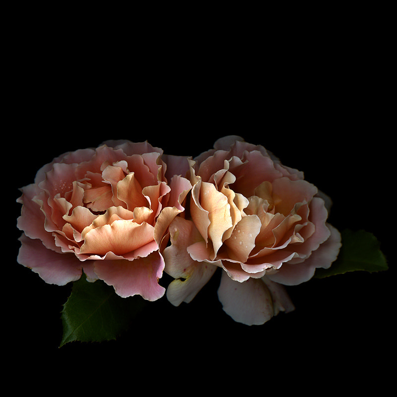 "Photograph STOLEN KISS GOOD-BYE... two ""Just Joey"" Roses by Magda Indigo on 500px"