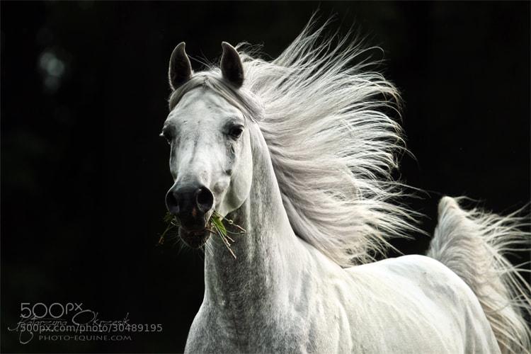 Photograph Arabian stallion by Katarzyna  Okrzesik on 500px