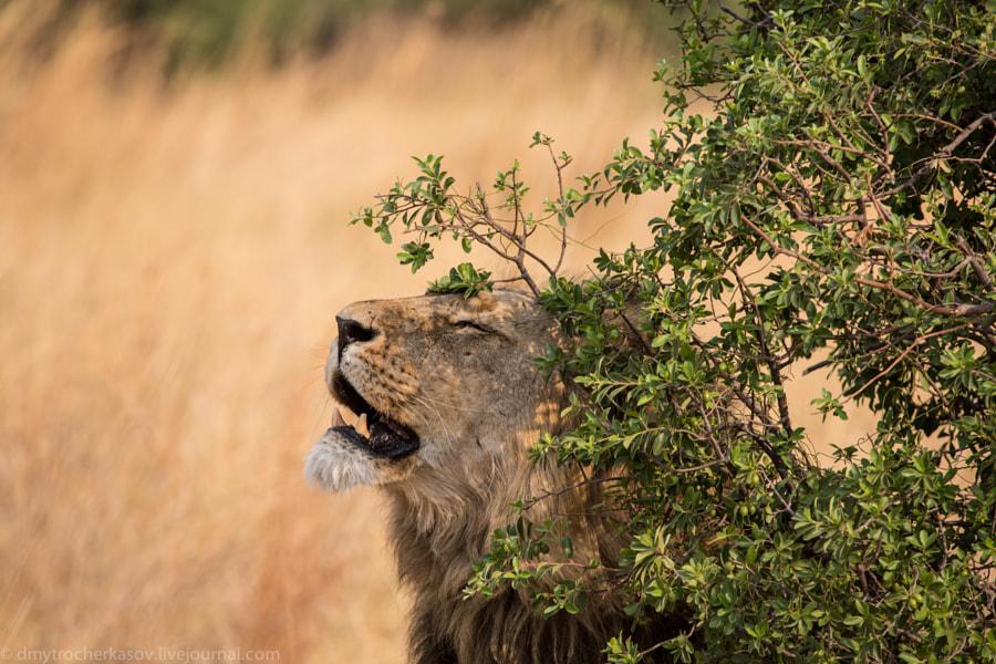 Romeo Lion