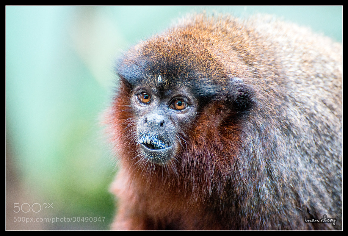 Photograph Red Titi Monkey by Inan Aksoy on 500px