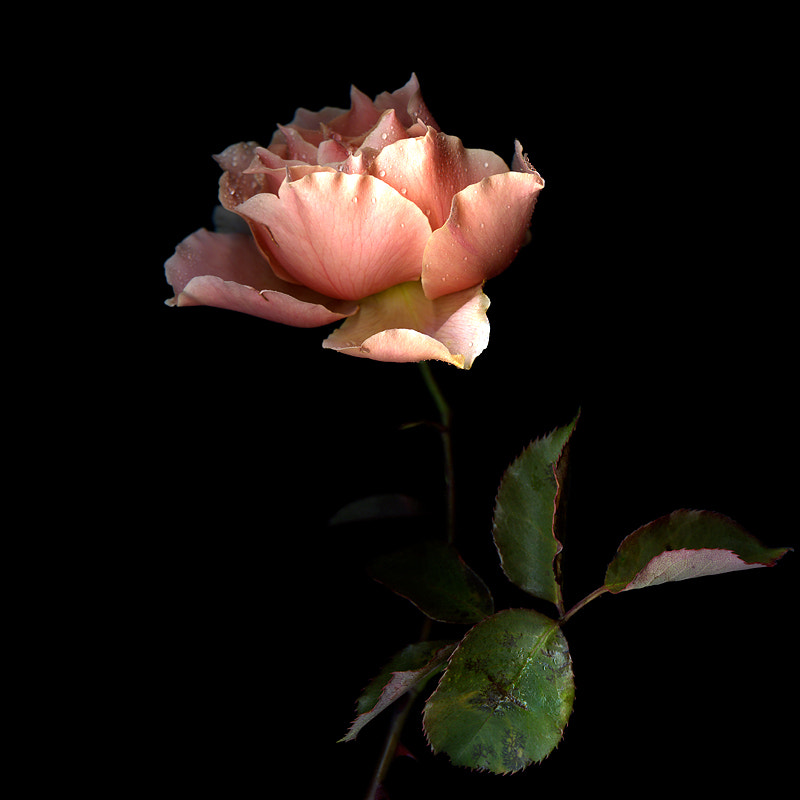Photograph A ROSE of BEAUTY IS A JOY FOREVER... by Magda Indigo on 500px