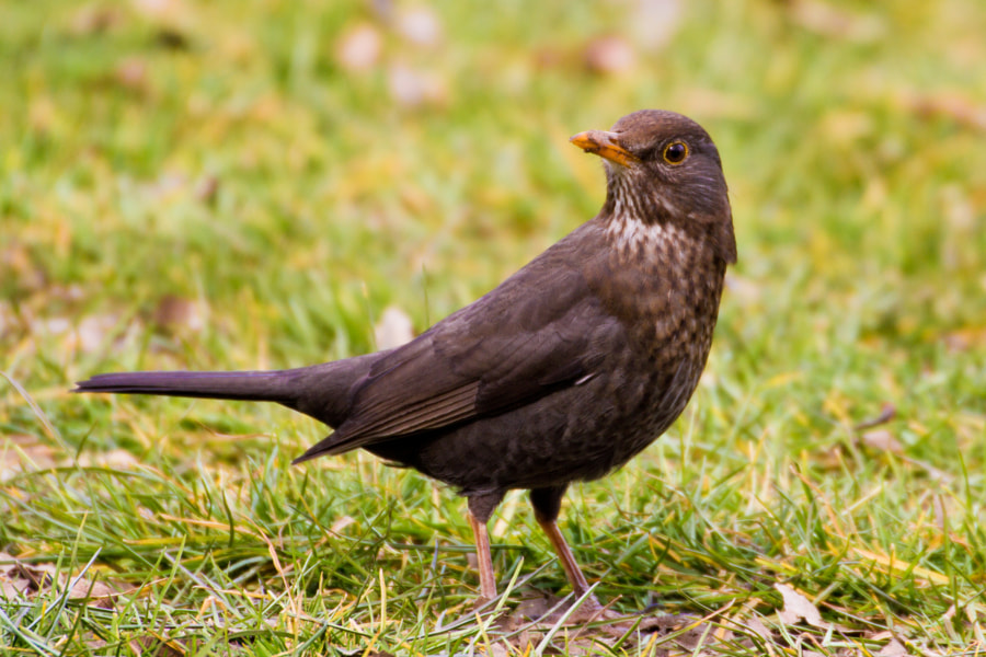 """Female common blackbird in a park - London, UK  The male Common Blackbird defends its breeding territory, chasing away other males or utilising a """"bow and run"""" threat display. This consists of a short run, the head first being raised and then bowed with the tail dipped simultaneously. If a fight between male Blackbirds does occur, it is usually short and the intruder is soon chased away. The female Blackbird is also aggressive in the spring when it competes with other females for a good nesting territory, and although fights are less frequent, they tend to be more violent."""