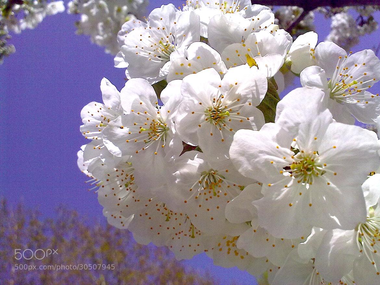 Photograph Cherry Blossoms   by Meysam Zandi on 500px