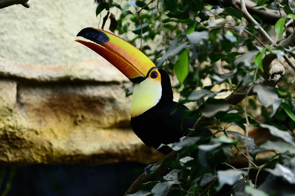 Photograph Tucano by Cristal  Caporale on 500px