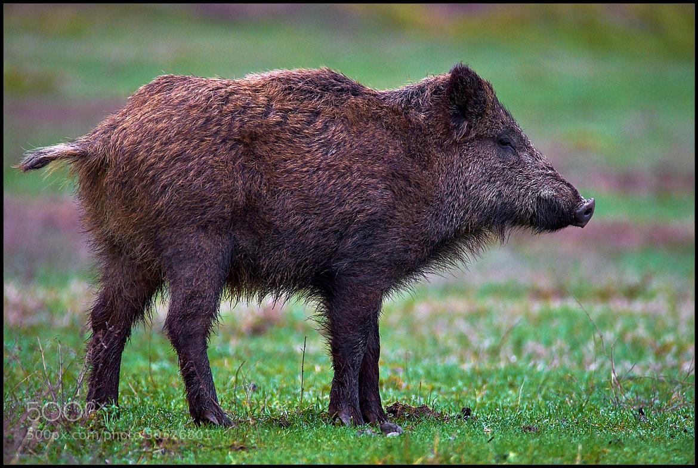 Photograph Wild pig by Alberto Zafferano on 500px