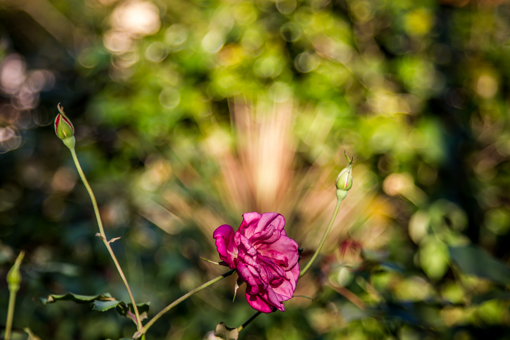 Photograph A solitary rose by Vanius Roberto Bittencourt on 500px