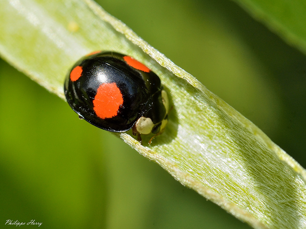 Photograph Harmonia Axyridis by Philippe Herry on 500px