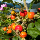 Large rosehips at Capilano Reservoir, North Vancouver, Canada, with the reservoir and North Shore mountains in the background.