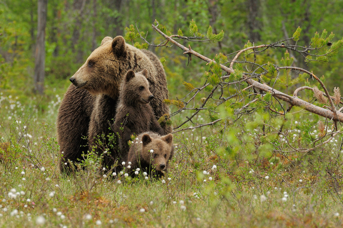 Photograph Brown bear family by Edwin Kats on 500px